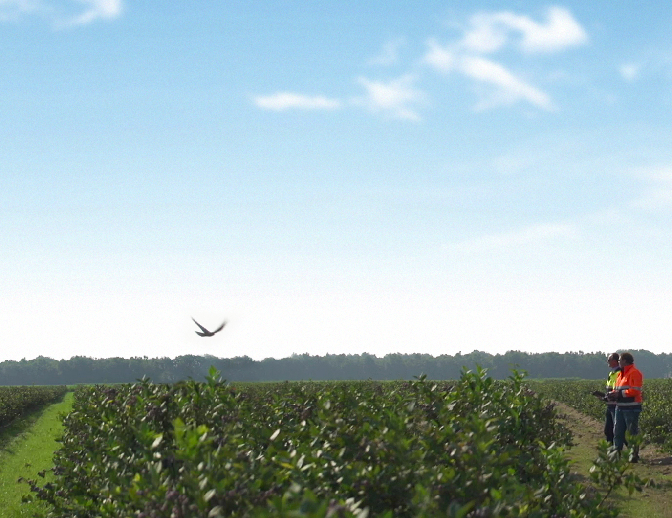 The Drone Bird preventing bird damage to crops